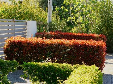Photinia jardin