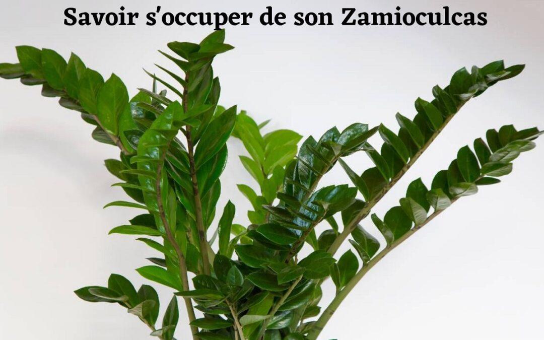 Zamioculcas