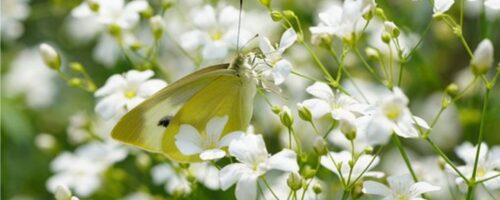 La gypsophile, l'incontournable fleur à intégrer dans son jardin